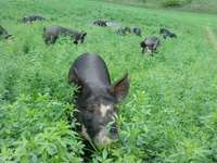 Gbf_pastured_pigs