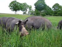 Pigs_on_hillside