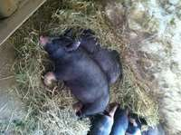 Pigs_napping_golden_bear_farm